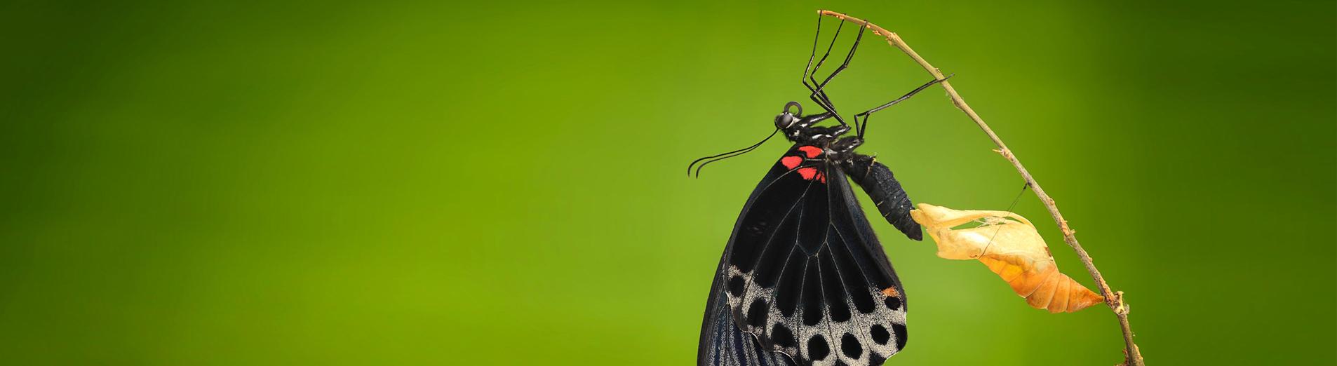 Photo d'un papillon sortant de sa chrysalide pour finir sa métamorphose